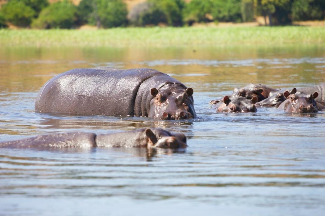 Hippo Fam