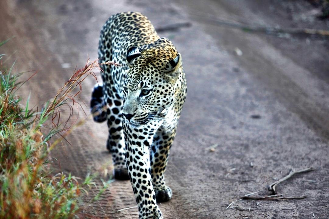 Leo Walking