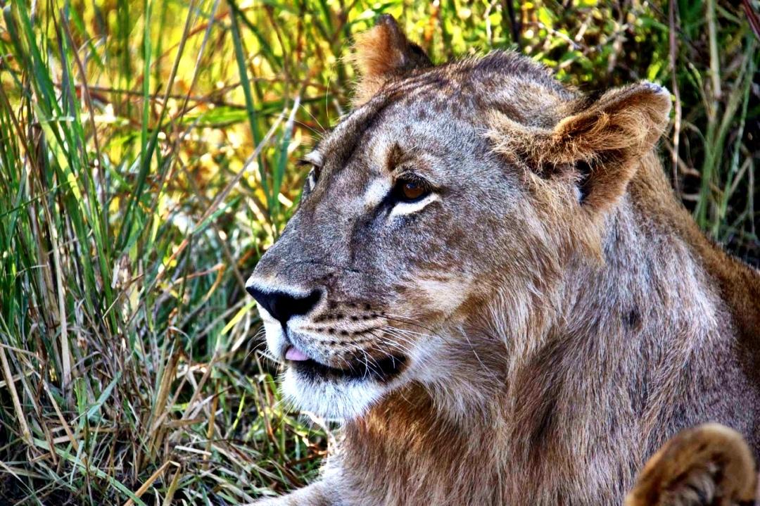 Lion Subadult