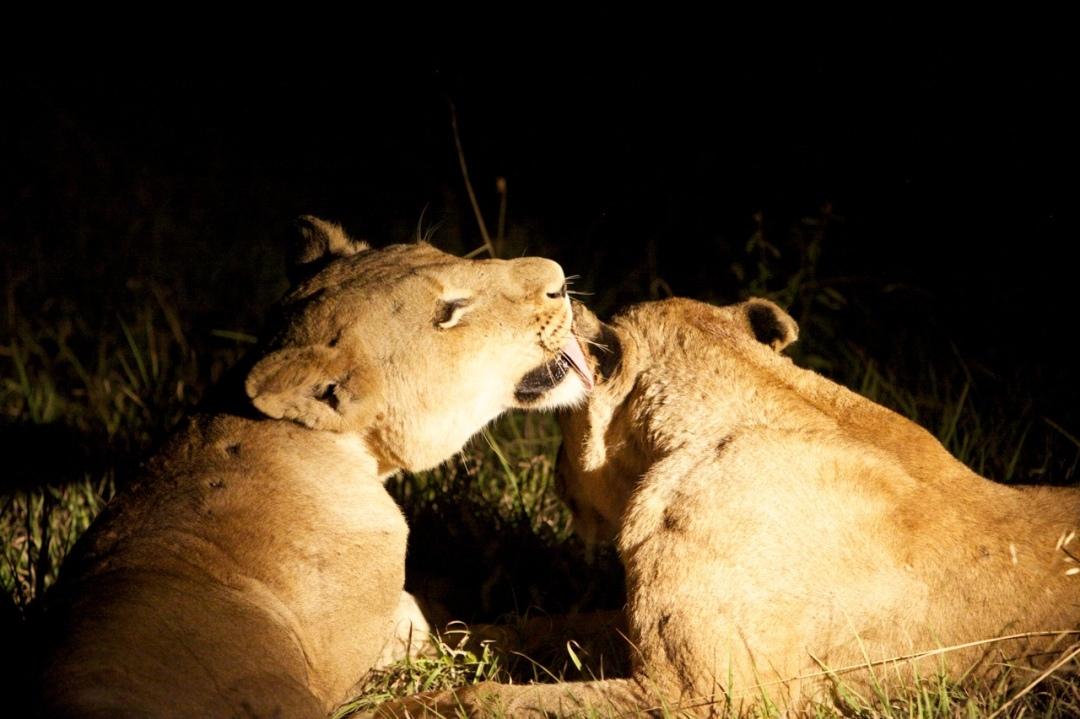 Lioness Kisses